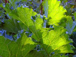 kale-leaf